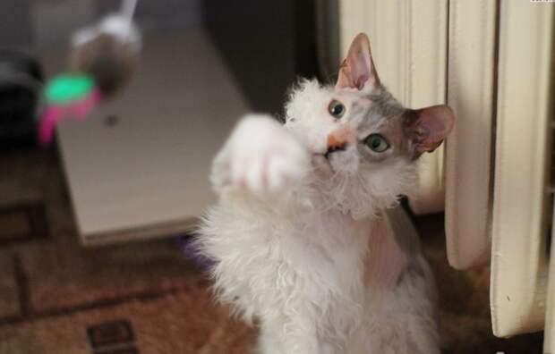 «Мы не знали о том, что нас ждёт!!!» Они случайно принесли домой дочь сфинкса и домашней кошки…)