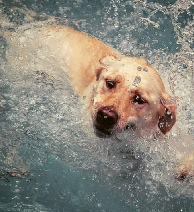 Собака плывет