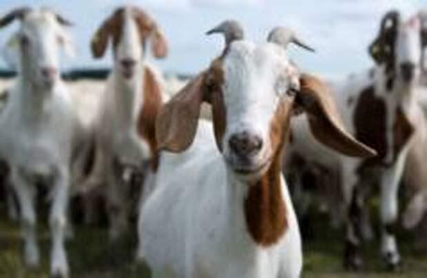 Ученые из Лондона выяснили, что козы умеют различать эмоции
