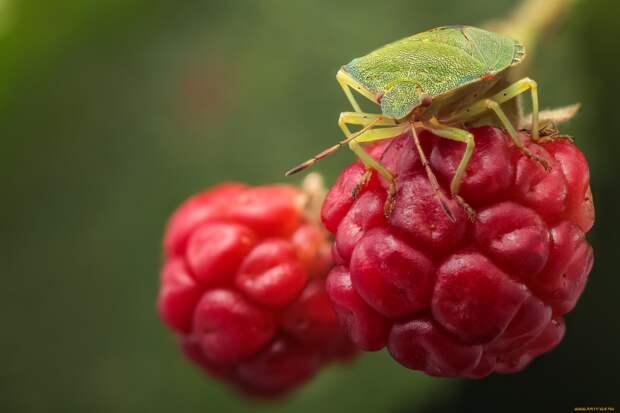Зелёный клоп-вонючка: Читать в противогазе. Самое ненавистное насекомое дачников России и СНГ