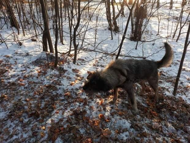 В парке Екатеринбурга обнаружили пса, прикованного к дереву