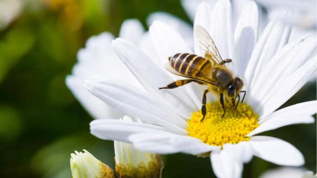 В Нидерландах диагностировать COVID-19 научили пчел