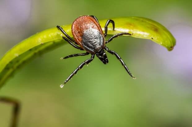 В Удмуртии 34% исследованных с начала сезона клещей оказались носителями боррелиоза