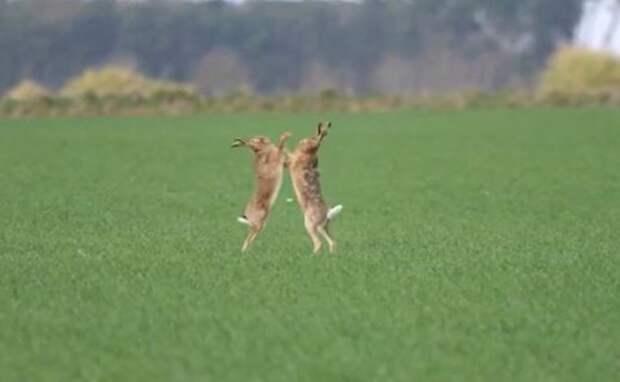Ушастый поединок: боксирующие вполе зайцы попали навидео