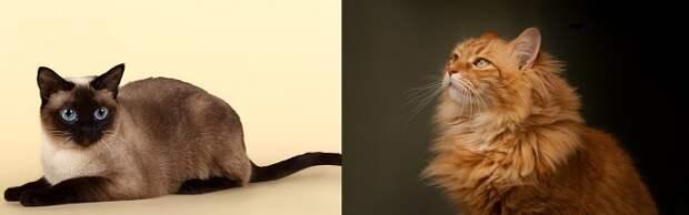 Рыжая и сиамская кошка