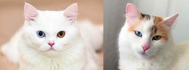 Белые коты