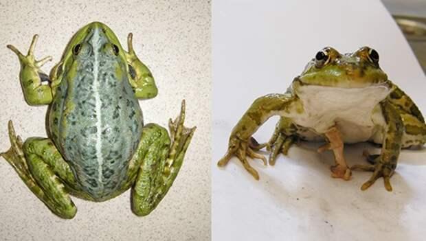 Ученые обнаружили в окрестностях Екатеринбурга лягушек-мутантов
