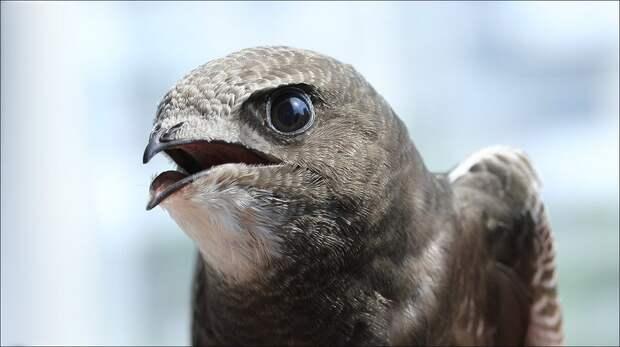 10 месяцев непрерывного полета: какие птицы способны так долго быть в воздухе