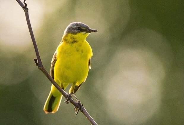 Желтая трясогузка замечена в парке «Северное Тушино»