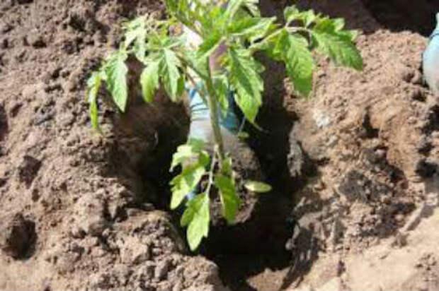 Правильный уход за помидорами после высадки в теплицу — советы огородникам