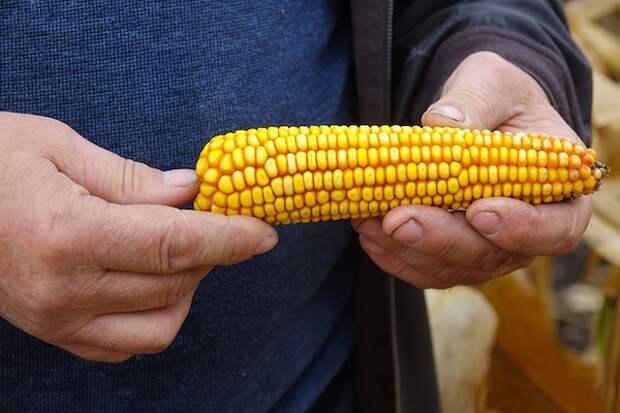 Главные хитрости при выращивании кукурузы