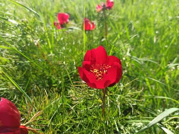 Дикие пионы в Крыму: когда цветут, где растут, фото