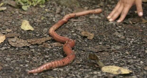 Австралийский гигантский дождевой червь