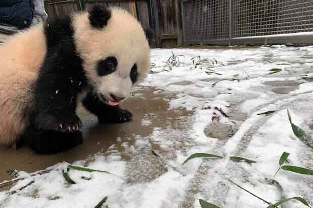 Катающихся в снегу панд сняли на видео в США