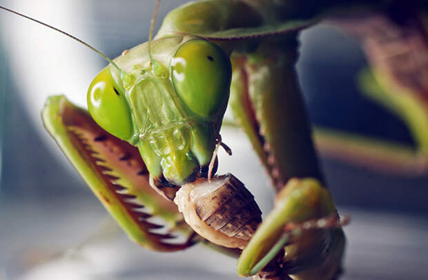 Хищник-богомол поедает насекомое