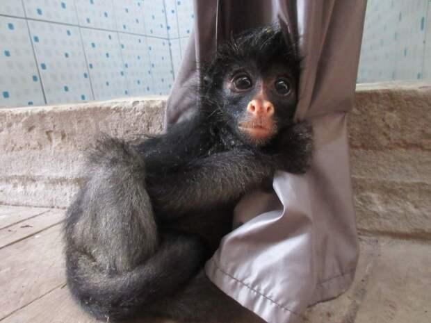 Семья из Эквадора выхаживает маленькую паукообразную обезьянку