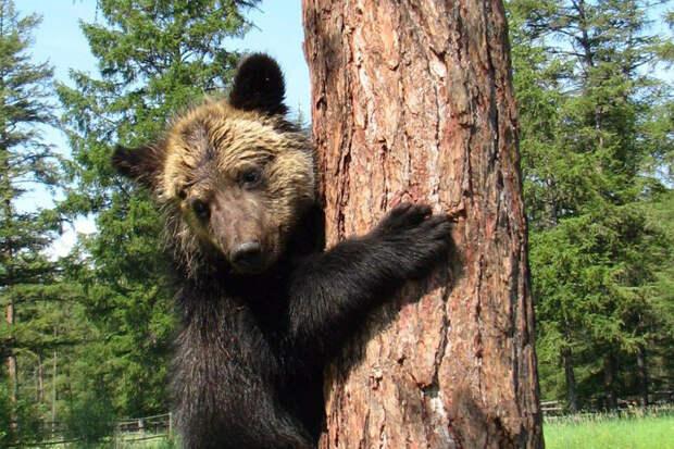 Медведь прошел сотни километров, чтобы вернуться домой.