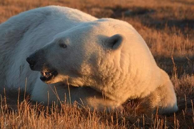 Невероятное зрелище — 230 белых медведей пируют тушей кита . Налопались от пуза!