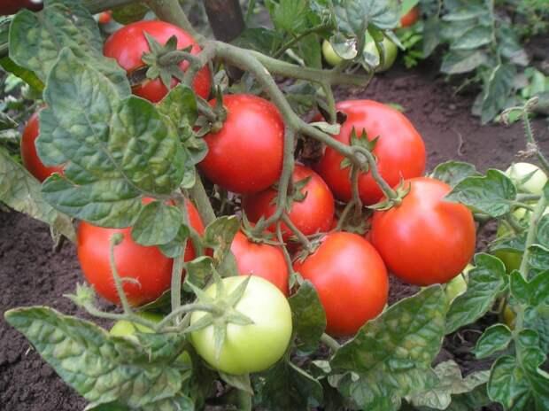 Все о пасынковании помидор. Листва у томатов — удалять или нет?