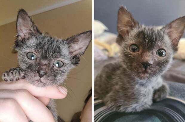 Девушка думала, что ее кот болен, а оказалось, что он просто дорогой породы