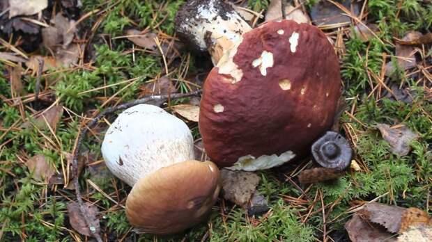 белые грибы на участке
