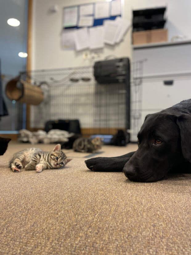 Девушка принесла домой котят-сироток, и ее пес стал для них «отцом»