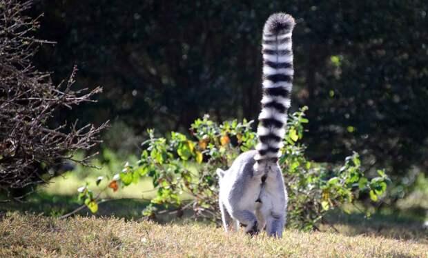 Кошачий лемур гордится своим хвостом