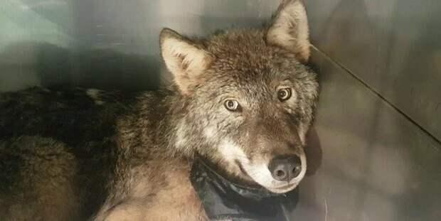 В Эстонии спасли песика тонущего в холодной реке, который оказался волком