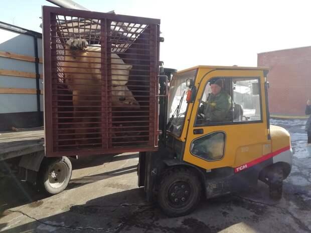 Невесту для белого медведя Балу привезли в зоопарк Ижевска