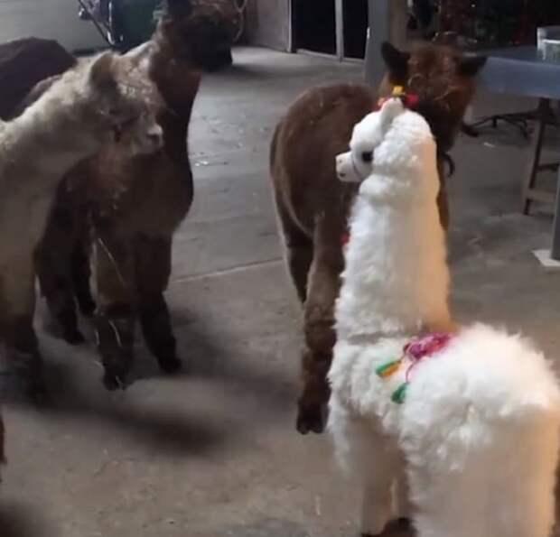 Забавные альпаки