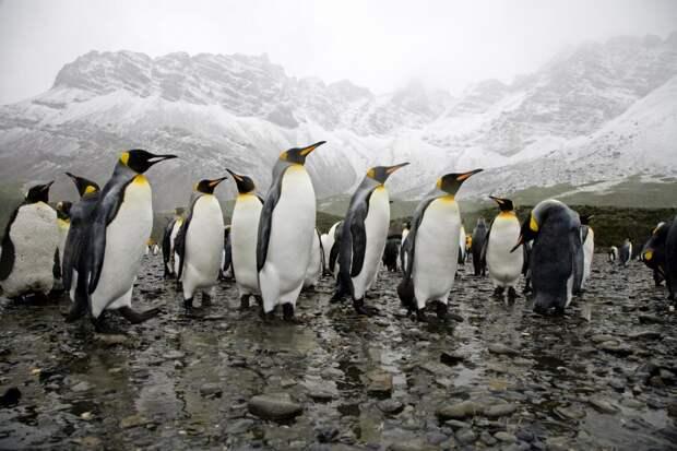 Из-за климат-кризиса императорские пингвины могут исчезнуть к2100 году