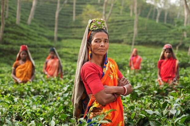 чай, кусты чая, чайный лист, индианка, женщина