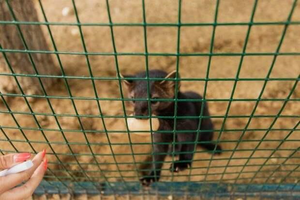 Соболь укусил ребёнка в зоопарке Читы