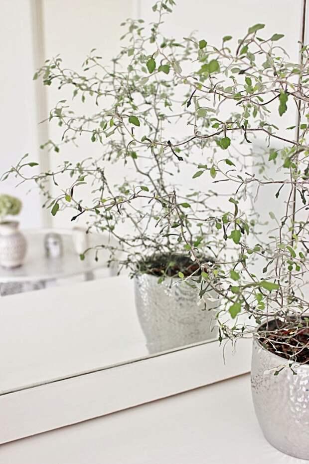 Корокия кизильниковая (Corokia cotoneaster)