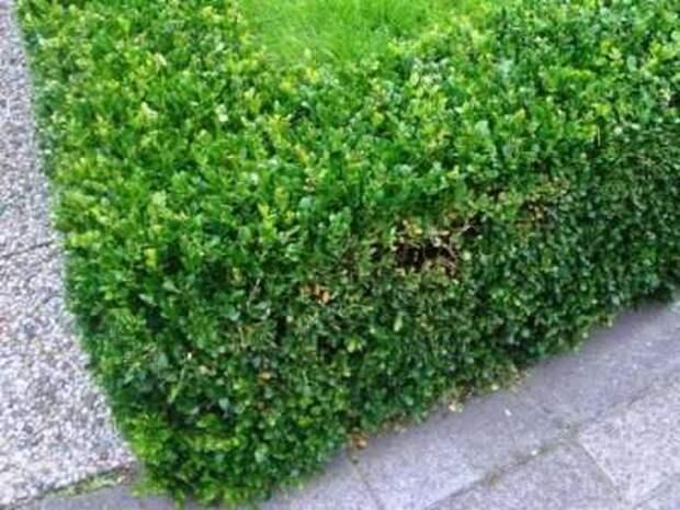 Вечнозеленый самшит В ландшафтном дизайне данный кустарник весьма распространен