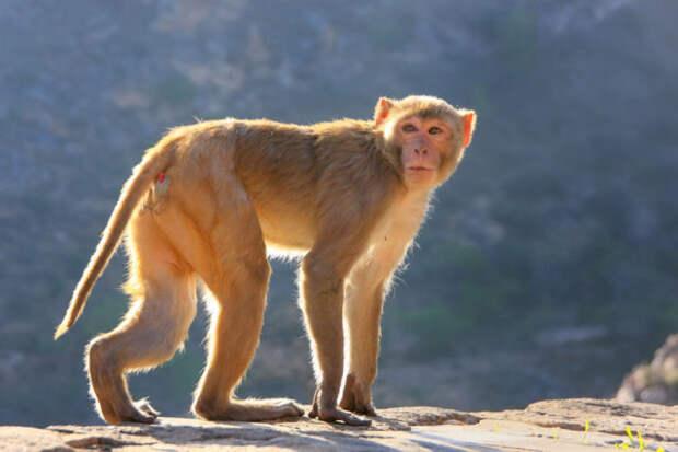 Жители индийской деревни отпугивают обезьян «медведями»