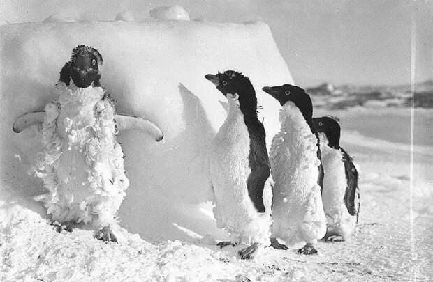 Птенцы пингвинов Адели после сильной пурги, приблизительно 1912 год Австралийская антарктическая экспедиция, антарктида, исследование, мир, путешествие, фотография, экспедиция