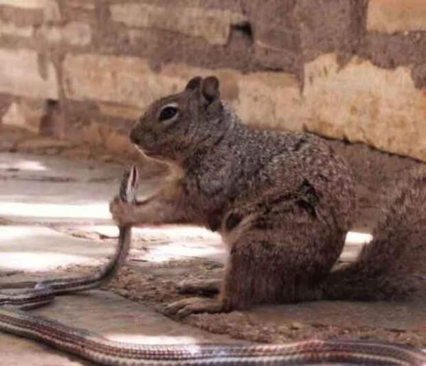 Пушистый берсерк: Белка напала на змею и съела ее заживо