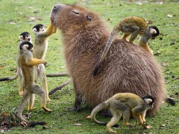 20 доказательств, что капибары — самые милые и дружелюбные животные в мире