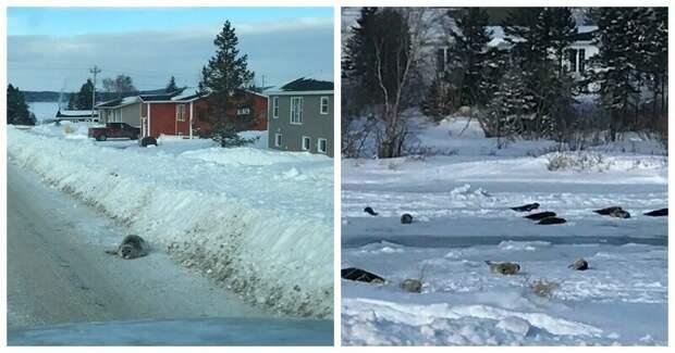 """40 милых нерп заблокировали автомобильное движение в Канаде и делают """"кусь"""" Морские млекопитающие, животные, канада, миграция, нерпы, ньюфаундленд, тюлени"""