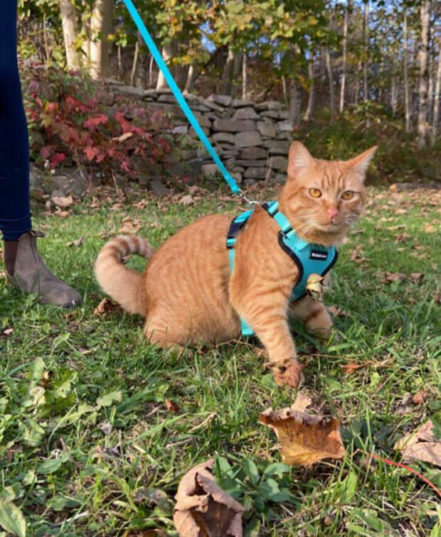 Если нет раздражающих факторов типа ветра, Тыква выглядит как обычный, среднестатистический рыжий кот.