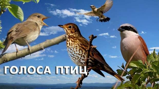 Весенние голоса тридцати певчих птиц.