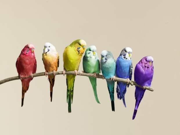 Волнистый попугайчик: А какие они в дикой природе?