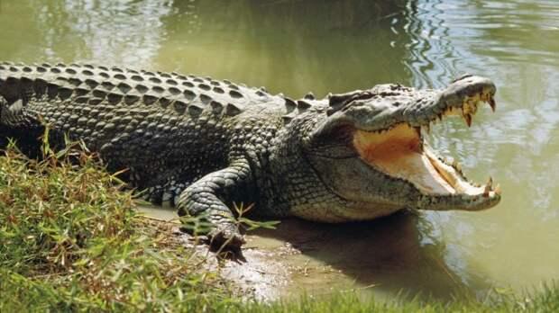 1508604059_crocodile-1