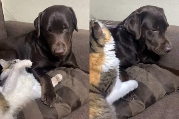«Подняла надруга лапу»: пристающая клабрадору кошка рассмешила Сеть