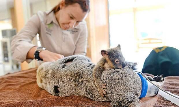 Детёныш коалы обнимает маму во время операции