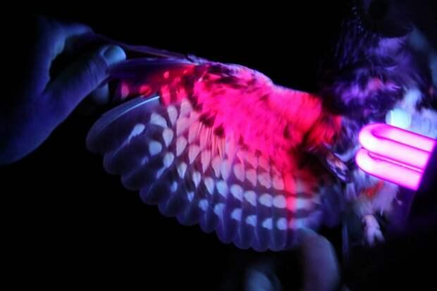 Под ультрафиолетом птицы больше похожи на неоновую ёлку.