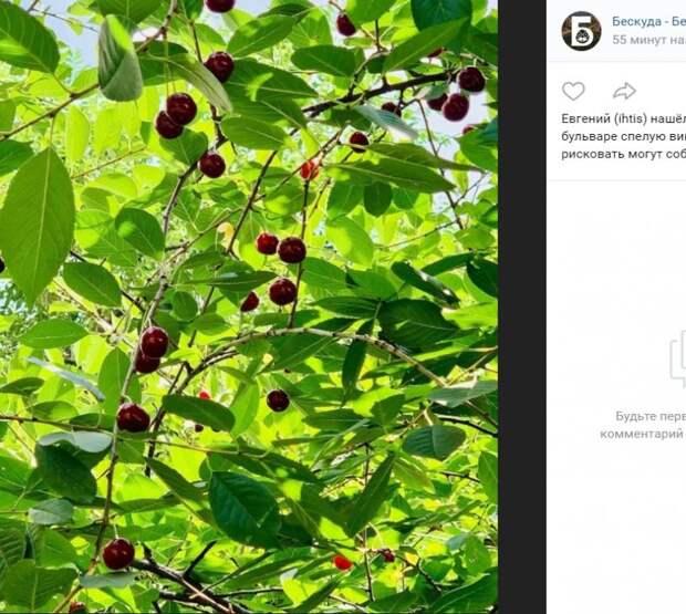 Фото дня: вишнёвое дерево на Бескудниковском бульваре