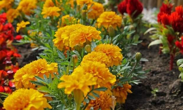 Бархатцы на цветнике
