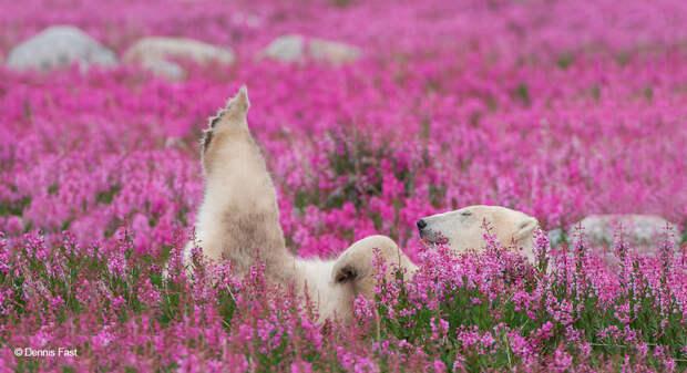 Денис Фаст сфотографировал, как полярные медведи резвятся в цветочном поле-21